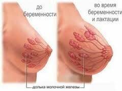 молочная железа во время и после кормления