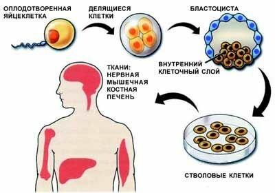 получение эмбриональных стволовых клеток