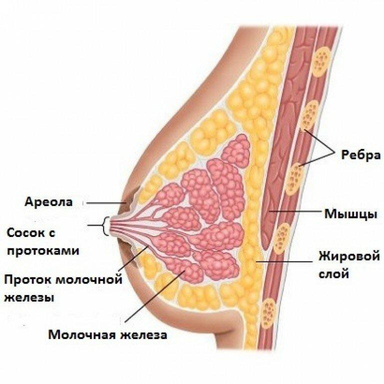 :Молочная железа